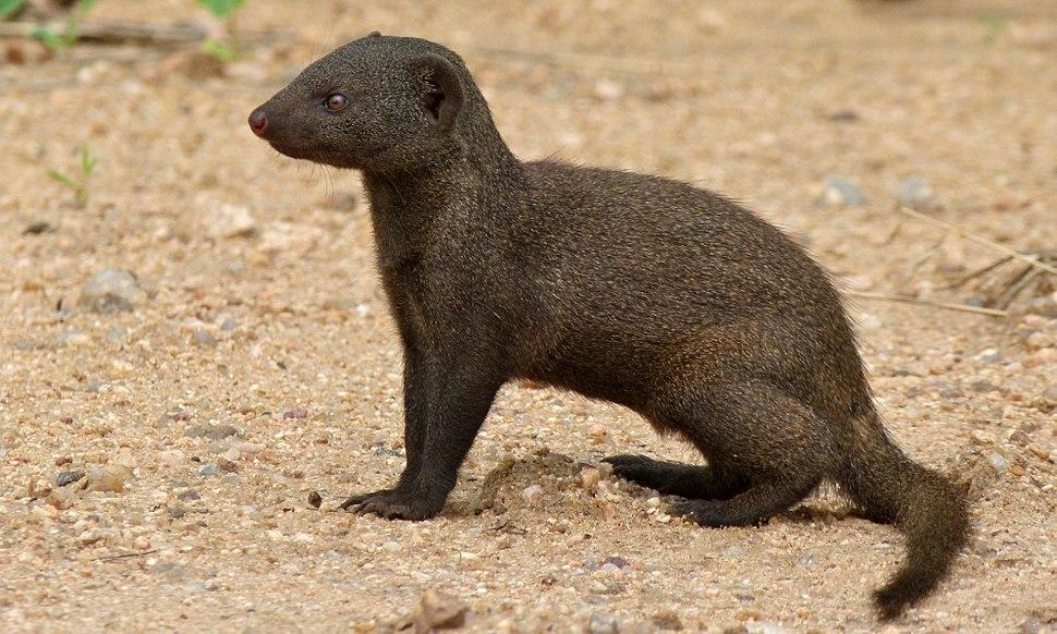 Dwarf Mongoose (Helogale parvula) (6002158282)