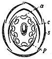 EB1911 Flower - sweet-pea flower diagram.jpg