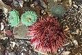 Ea anemones in Ucluelet Aquarium.jpg