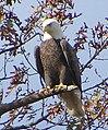Eagle (6129020644).jpg