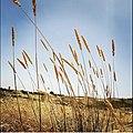 Ear of wheat.jpg