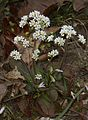 Early Saxifrage - Saxifraga virginiensis, Great Falls National Park, Great Falls, Virginia.jpg