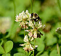 Eastern Bumble bee (Bombus impatiens) on Clover (5915015337).jpg
