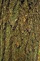 Eastern Hemlock (Tsuga canadensis) - Flickr - wackybadger.jpg