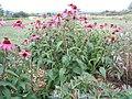 Echinacea purpurea (4990391475).jpg