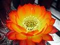 Echinopsis glaucina.1a.PCJO.jpg