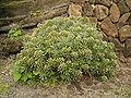Echium aculeatum (Los Tilos) 01.jpg
