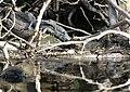 Econo River Aligatores.jpg
