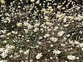 Edgeworthiachrysantha.JPG