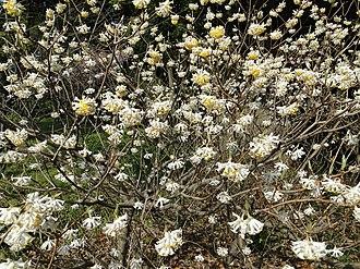 Edgeworthia chrysantha - Image: Edgeworthiachrysanth a