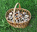 Edible fungi in basket 2015 G1.jpg