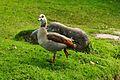 Egyptian goose kirstenbosch.jpg