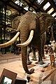 Eléphant d'Afrique naturalisé.JPG