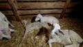 Elevage-agneau-agonie-1.png