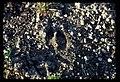 Elk tracks in sand and gravel. 101978. slide (9ca9828f6f38423ba80a6b963ba1b411).jpg