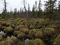 Emberiza rustica habitat 2.JPG