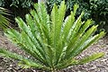 Encephalartos msinganus 5zz.jpg
