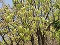Engelhardia spicata AJT Johnsingh P1100584.JPG