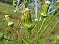 Erechtites hieraciifolius - Fireweed plant.jpg