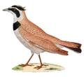 Eremophila bilopha 1838 1.png
