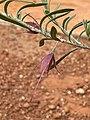 Eremophila latrobei stems & foliage.jpg
