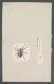 Eresus - Print - Iconographia Zoologica - Special Collections University of Amsterdam - UBAINV0274 068 13 0002.tif