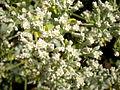 Eriogonum giganteum 3c.JPG