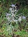 Eryngium amethistium.jpg