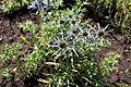 Eryngium amethystinum 01.JPG