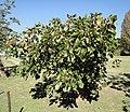 Erythrina caffra, KZN NBT, b.jpg
