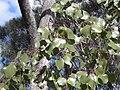 Eucalyptus populnea leaf.jpg