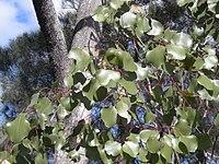 Eucalyptus populnea leaf