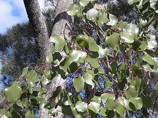 <i>Eucalyptus populnea</i> species of plant