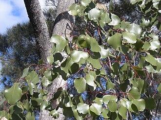 Eucalyptus populnea - Image: Eucalyptus populnea leaf