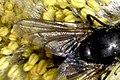 Eudasyphora.cyanicolor.wing.detail.jpg