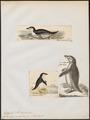 Eudyptes antarctica - 1700-1880 - Print - Iconographia Zoologica - Special Collections University of Amsterdam - UBA01 IZ17800237.tif