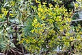 Euphorbia-dendroides-flowers.jpg