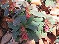 Euphorbia amygdaloides, Ripaljka, Sokobanja.jpg