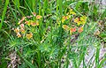 Euphorbia cyparissias at Lac de Roy (2).jpg
