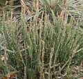 Euphorbia pteroneura.jpg