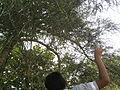 Euphorbia tirucalli (YS) (10).jpg