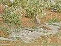 Eurasian Curlew (Numenius arquata) (49954234612).jpg