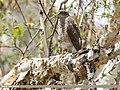 Eurasian Sparrowhawk (Accipiter nisus) (36333909225).jpg