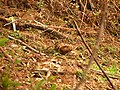 Eurasian Woodcock IMG 9910 01.jpg