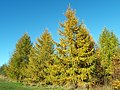 European Larch (Larix decidua) trees (8257163733).jpg