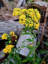 E. graminifolia, kvastgullris