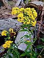 Euthamia graminifolia - Grass Leaf Goldenrod.jpg