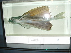 remains of a flying fish are displayed in glass box.