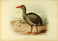 Extinctbirds1907 P30 Erythromachus leguati0351.png