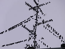 Starlings on wires